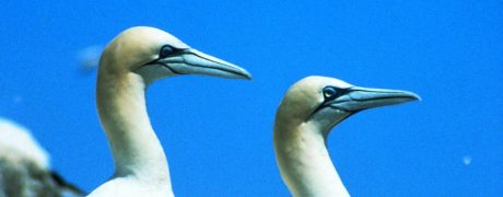 Gannets on Grassholm Island